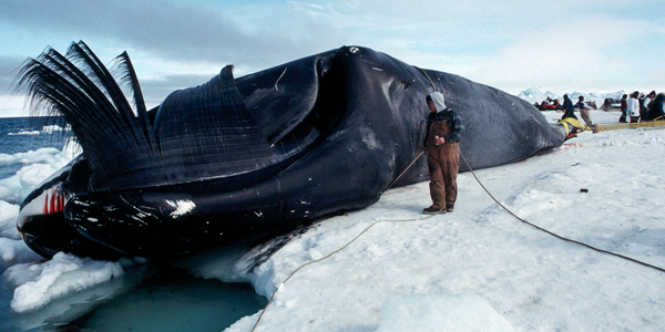 chasse indigène à la baleine en Alaska, source IWC
