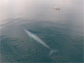 Blue whale and ww vessel from above Diane Gendron