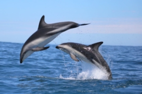 Dusky Dolphins Table Mountain Protected Area South Africa Simon Elwen Sea Search 2