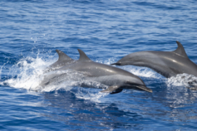 PanTropicalSpottedDolphins IndOcean ChrisJohnson
