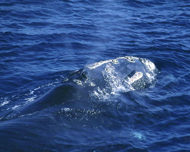 North Pacific right whale