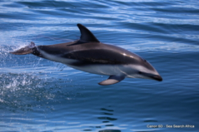 Dusky Dolphins Table Mountain Protected Area South Africa Simon Elwen Sea Search 5